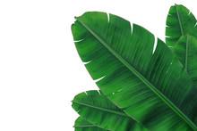 Banana Leaf On Isolate And White Background.