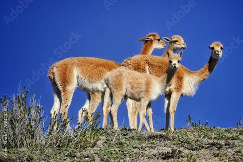 Photo Stands Antelope Les vigognes vous regardent