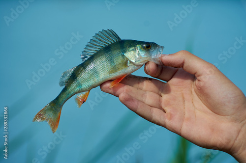 Fotobehang Vissen A freshwater small perch in the hand of a fisherman. Spinning, sport fishing. The concept of outdoor activities.