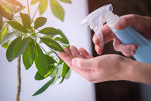 Woman Sprays Plants In Flower Pots. Housewife Taking Care Of Home Plants At Her Home, Spraying House Plants With Pure Water From A Spray Bottle