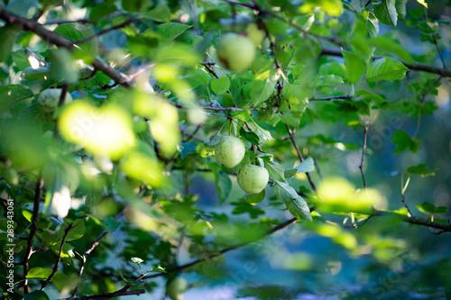 Fototapeta Zielone jabłko na drzewie - dzikie jabłko obraz