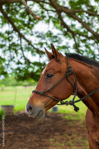 portrait of a horse on a ranch in Hawaii