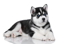Cute Fluffy Siberian Husky Puppy On A White Background, Black And White Puppy