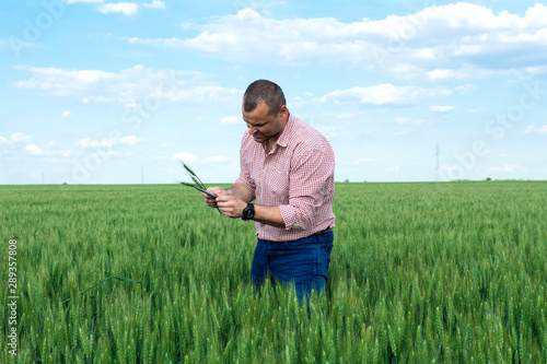 Fototapeta Farmer or agronomist standing in the wheat field examining the yield quality. obraz