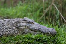 Crocodile (Crocodylidae), Kwazulu Natal, South Africa.