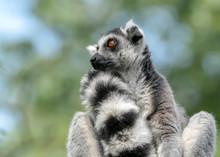 Ring Tailed Lemur (Lemur Catta). Apenheul At Apeldoorn In The Netherlands.