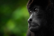 Monkey Portrait. Costa Rica Wi...