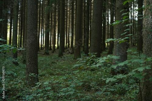 Montage in der Fensternische Darknightsky Conifer trees