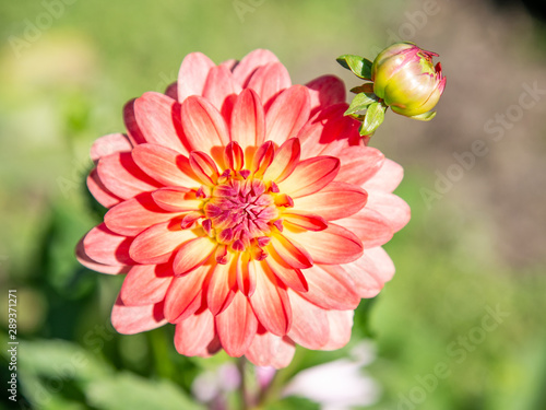 Carta da parati Salmon colored dahlia in the garden with a bokeh background