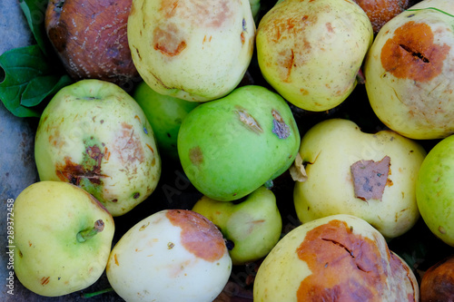 Rotten green and yellow apples close up. Canvas-taulu