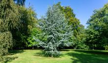 Cedrus Atlantica Glauca Tree, ...