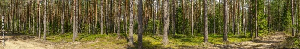Fototapety, obrazy: Pine forest
