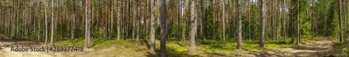 Photo sur Aluminium Route dans la forêt Pine forest