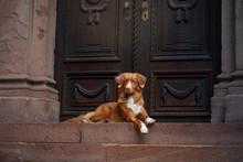 Red Dog From A Vintage Door. Nova Scotia Duck Tolling Retriever In City