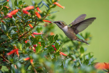 Ruby-throated Hummingbird Feed...