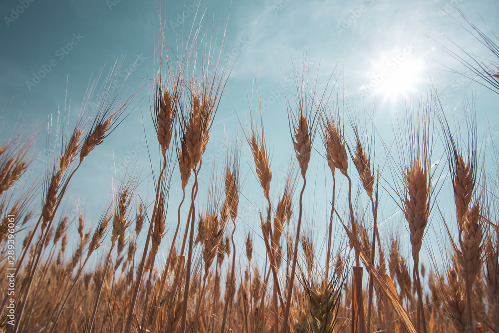 Fototapety, obrazy: Harvest ready barley in a field with blue sky and sun above