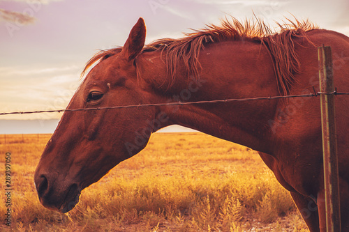 Chesnut Brown Horse Upclose At Golden Sunset In Colorado Ranch
