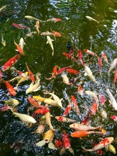 Top View Of Floating Carp Fish In The Pool