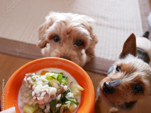 Foto ドッグボウルに入ったペットフードをじっと座って見つめるかわいい小型犬2匹