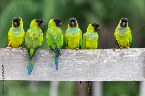 Photo  A baeautiful group of Periquito-de-cabeça-preta (Nanday Parakeet),  in their nat