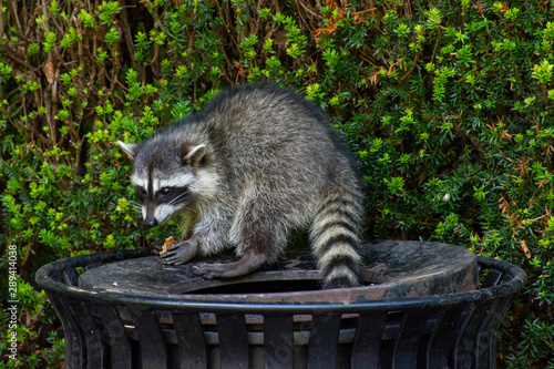 Fotografia, Obraz Raccoons (Procyon lotor) eating garbage or trash in a can invading the city in Stanley Park, Vancouver British Columbia, Canada