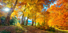 Autumn Landscape - Tall Forest Golden Trees With Sunlight, Panoramic