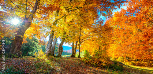Poster Miel Autumn landscape - tall forest golden trees with sunlight, panoramic