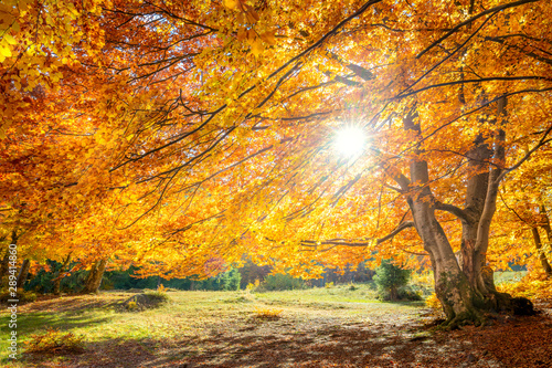 Fototapety, obrazy: Real sun and Autumn landscape - big forest golden tree with sunlight