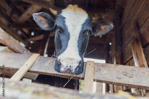 fototapeta na ścianę Portrait of a bull in a farm shed