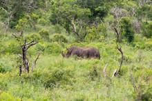 Black Rhinoceros-Rhinocéros N...