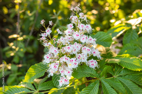 Photo White horse-chestnut (Conker tree, Aesculus hippocastanum) blossoming flowers on
