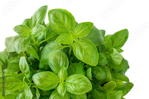 Obraz Fresh growing  basil herb leaves isolated on white background. - fototapety do salonu