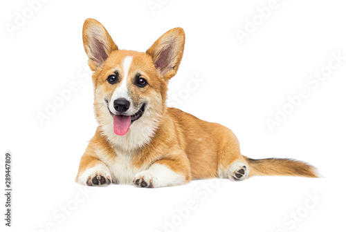 Tela puppy on a white isolated background, breed Welsh Corgi