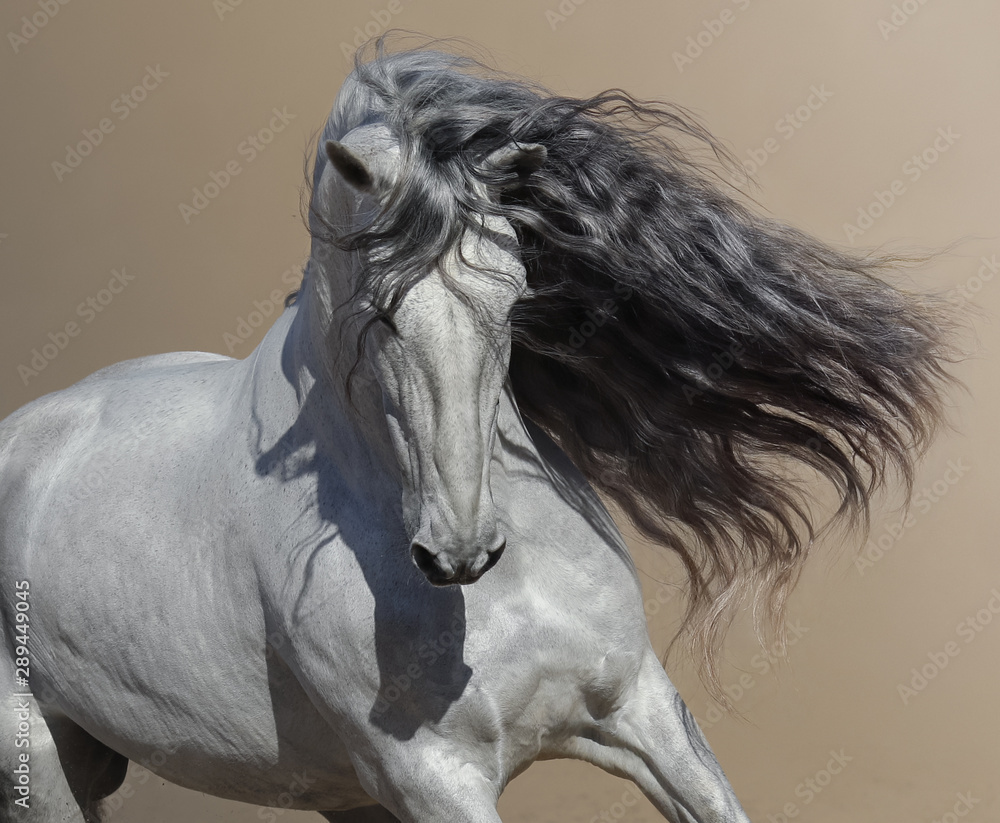 Fototapeta Close up portrait of white Andalusian horse with long mane.