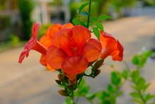 Orange Flowering Campsis Radic...