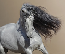 Close Up Portrait Of White Andalusian Horse With Long Mane.
