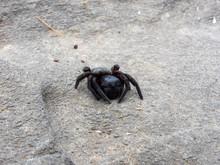 Velvet Spider On Rock