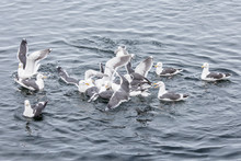 A Flock Of Seagulls Sit On The Surface Of Sea Water