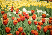 A Field Of Red Yellow And White Tulips
