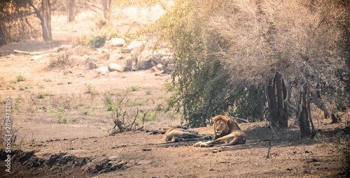 Poster Salmon Lions lying in the sun in south africa