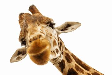 FototapetaClose up shot of giraffe head isolate on white