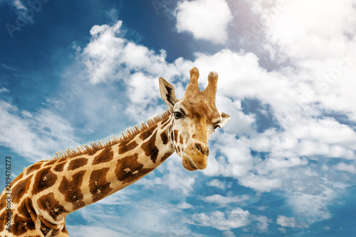 Photo Close up shot of giraffe head on blue cloudy background.