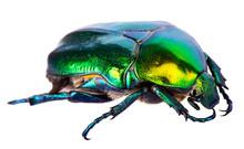 Splendid Green Beetle Isolated...