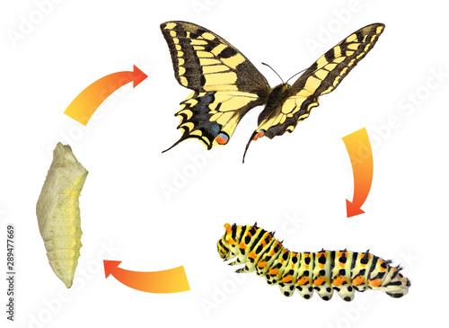 Махаон бабочка. Образ жизни и среда обитания бабочки махаон ... | 365x500