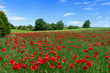 Viele rot blühende Mohnblumen auf einer malerischen hügeligen Wiese