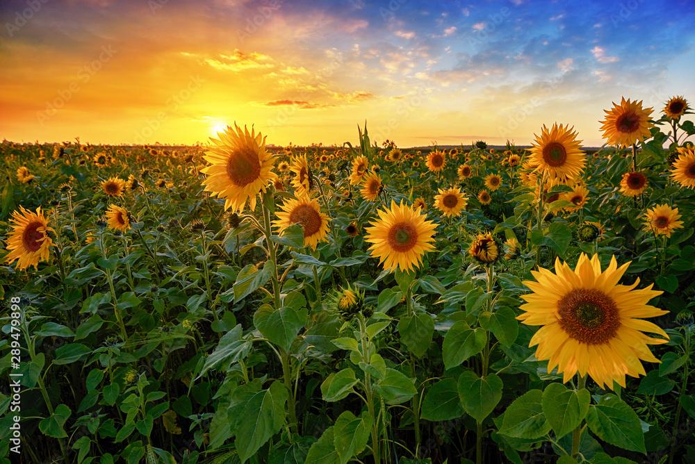 Fototapety, obrazy: Beautiful sunset over sunflower field