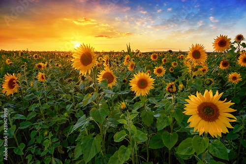 Poster Orange Beautiful sunset over sunflower field