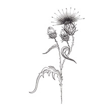 Thistle Flower Sketch. Hand-dr...