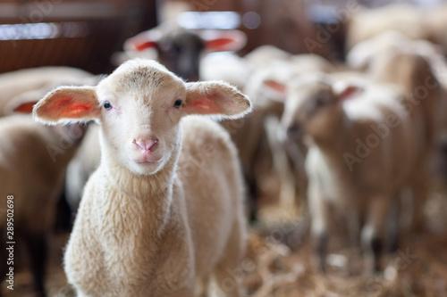 Foto Lamm in Schafherde im Stall