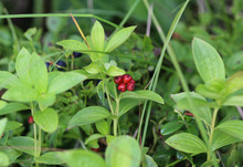 Cornus Suecica, The Dwarf Cornel Or Bunchberry